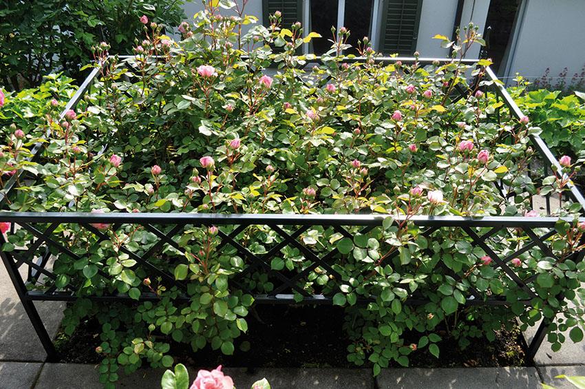 Beeteinfassung trennt Rosenbeet und Gartenpfad
