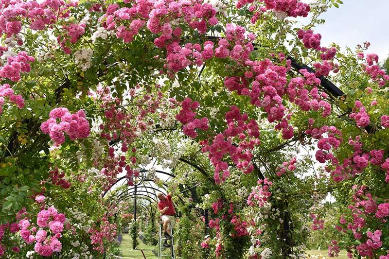 Laubengang-St.-Albans-im-Rosarium-Peter-Beales-Roses-3