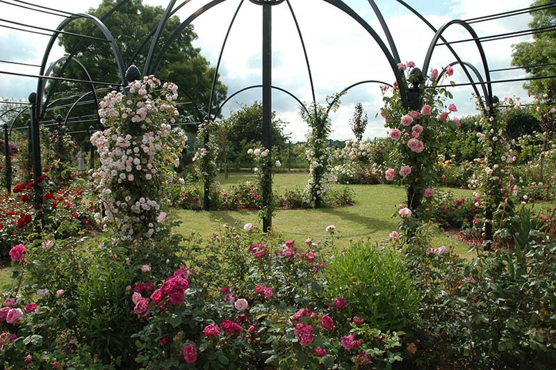 Laubengang St. Albans im Rosarium Peter Beales Roses