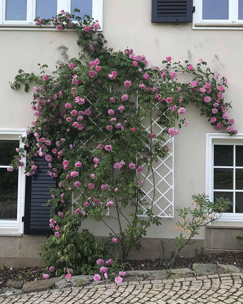 Rose 'Mme Sancy de Parabère' mit klassischen Rankgitter von Classic Garden Elements