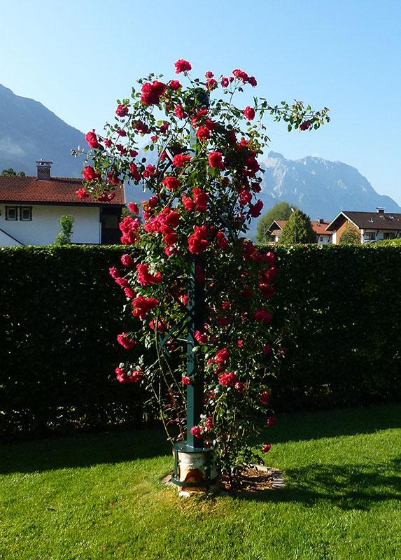 Rosensäule montiert auf einen Baumstumpf