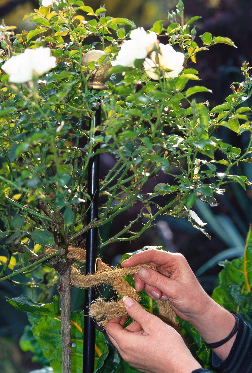 Beispielbild wie man einen Strauch an den Rosenstab binden