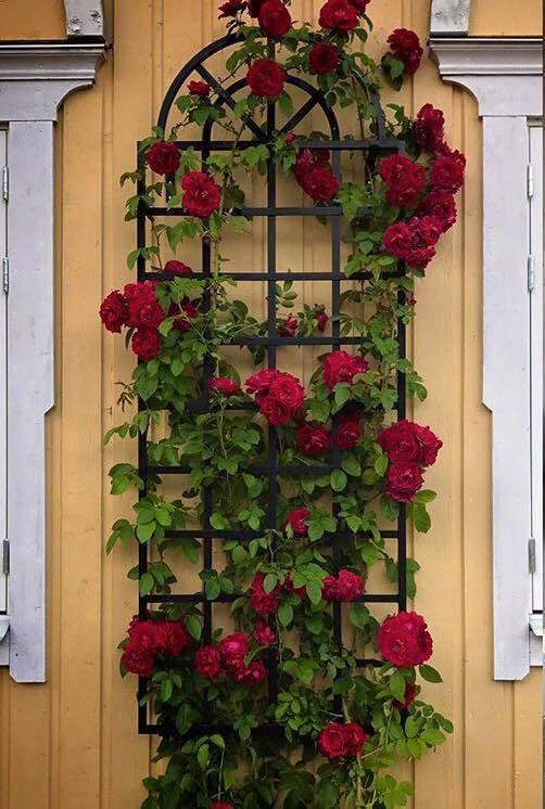 Ganz und zu Extrem Auch im eher kühlen Schweden blühen Rosen überreich am 'Orangerie @XU_29