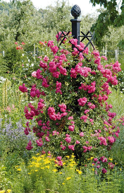 rosensäule charleston mit rose super excelsa