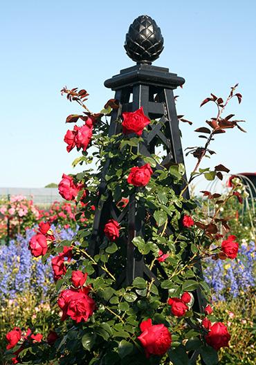 rosenpyramide mit kletterrose florentina