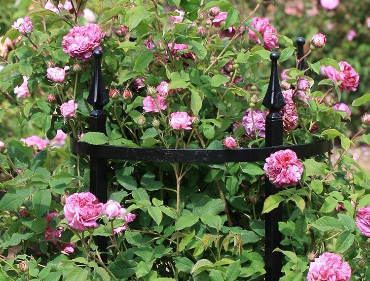Der Vergleich - Strauchrose ohne Rosenstütze und Strauchrose mit Rosenstütze