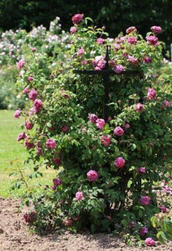 Runde Rosenstütze aus Metall für Strauchrosen