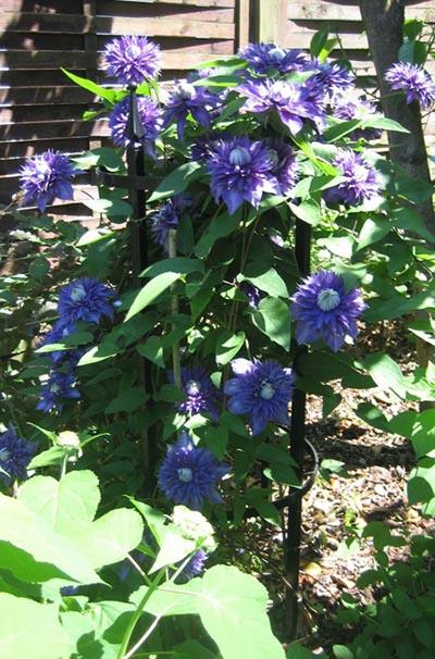 Runder Metall Staudenhalter stützt reinblaue, gefüllte Clematisblüten