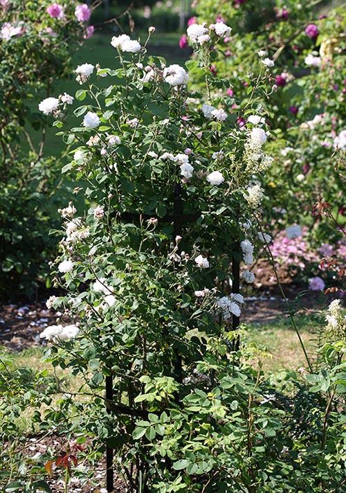Weiße Rosen entfalten sich üppig auf der runden Metall Rosenstütze Rudolf Geschwind