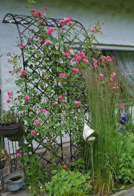 rosen halbbogen mit kletterrosen