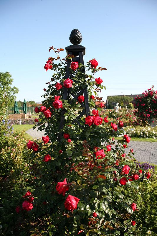 Rosenpyramide Malmaison im Schaugarten Kordes