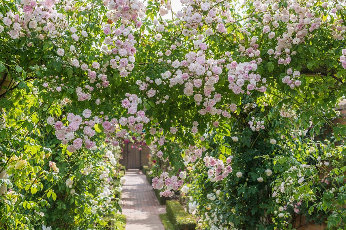 Pergola mit Ramblerrose Belvedere