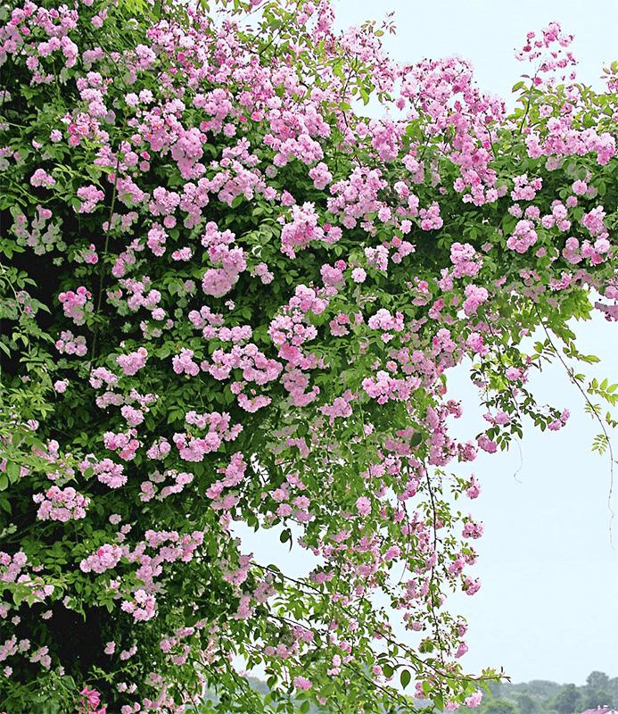 Pergola mit Ramblerrose Pauls Himalayan Musk