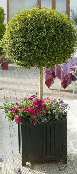 Ligustrum ( Ligusterstämmchen ) in Pflanzkübel von Classic Garden Element
