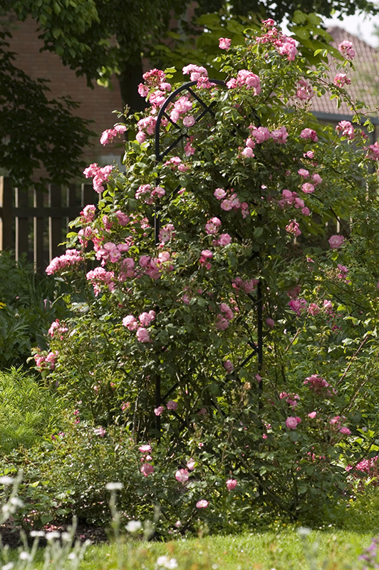 Rankgitter Beekman mit rose Kletterrose