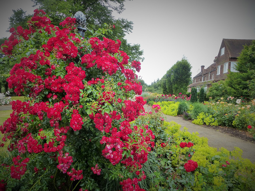 ranksäule charleston im rosarium der royal national rose society
