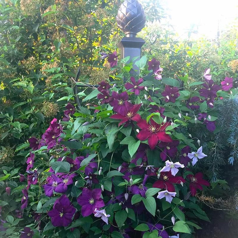 rosensäulen für kletterpflanzen mit clematis