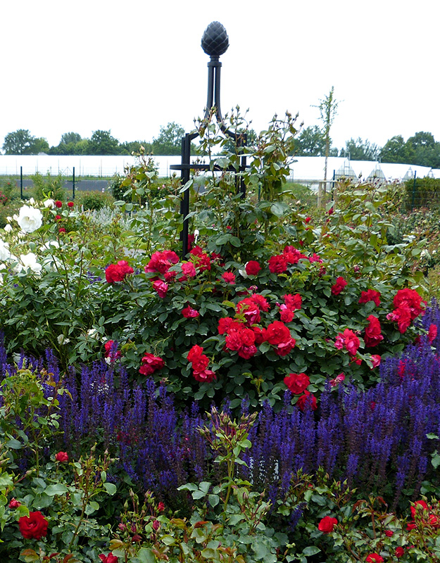 Ranksäule mit Rosen und Salbeien