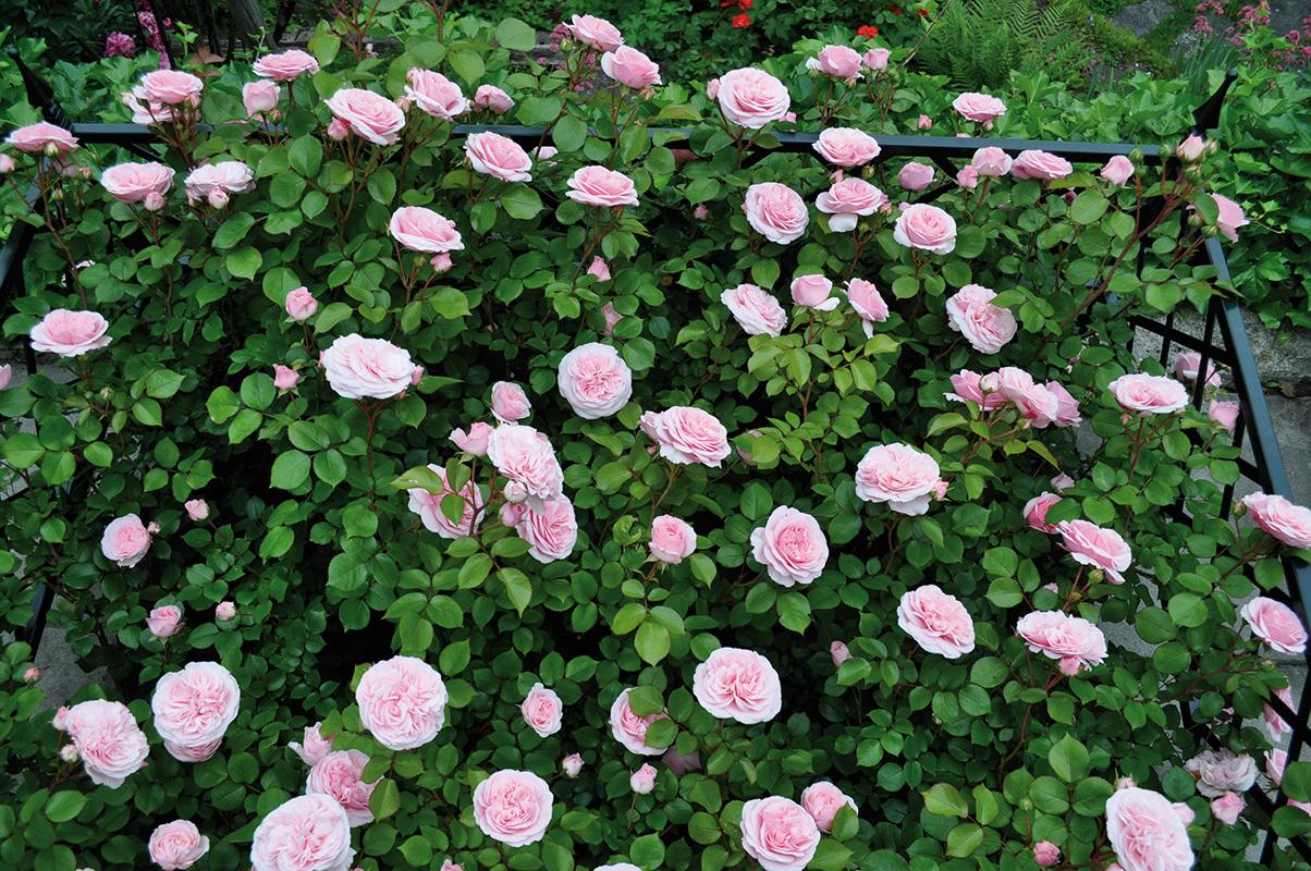 Rosenbeet mit Einfassung