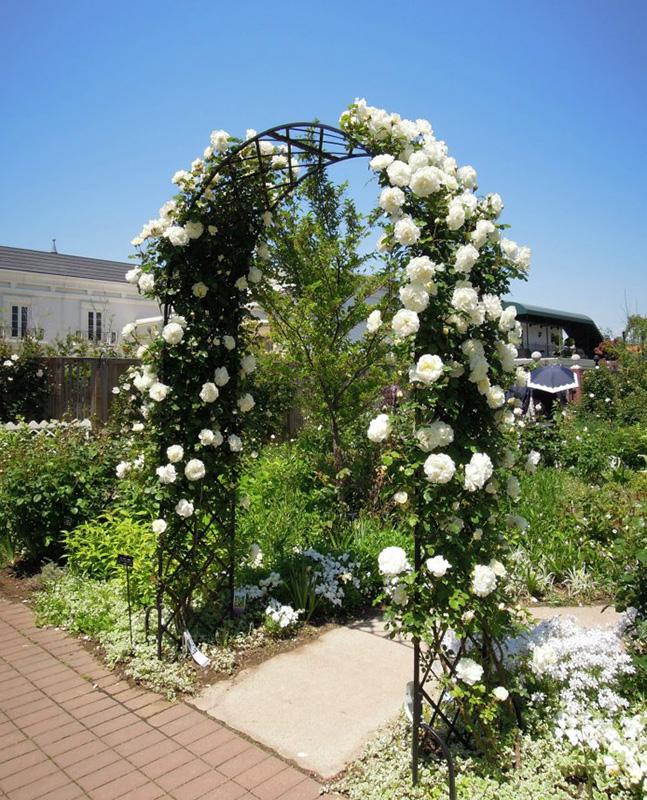 rosenbogen rose marie curie