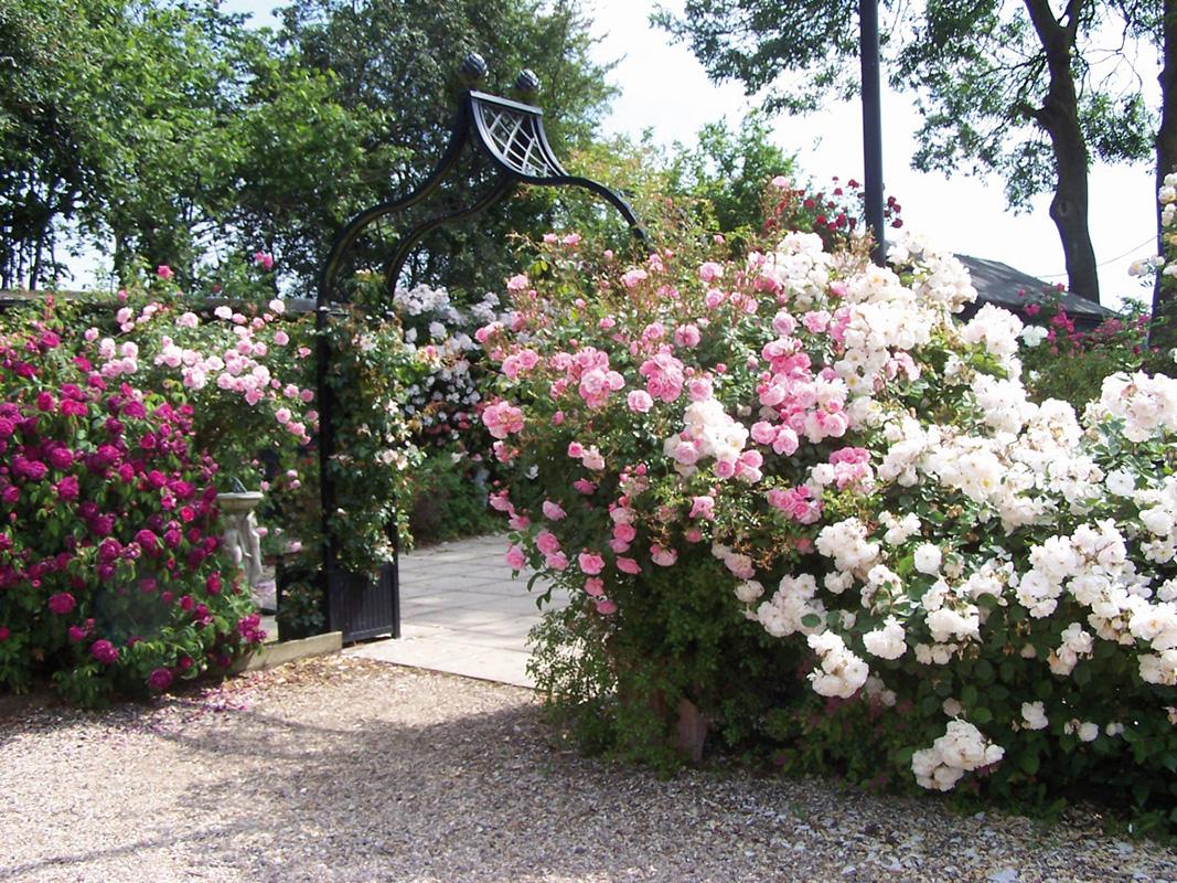 Rosenbogen Brighton bei Peter Beales Roses