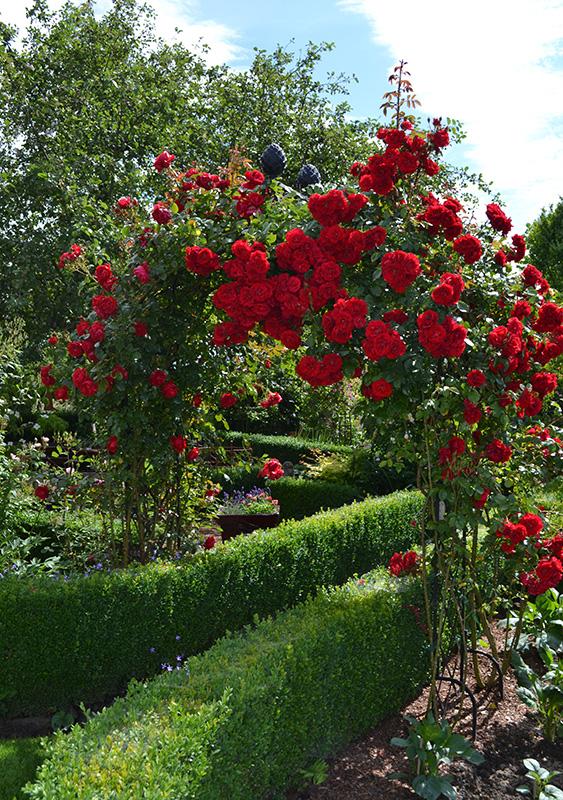 Rosenbogen Kiftsgate im Garden of Roses