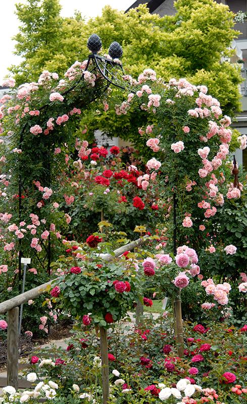 Viktorianischer Rosenbogen Kiftsgate im Rosenpark Dräger