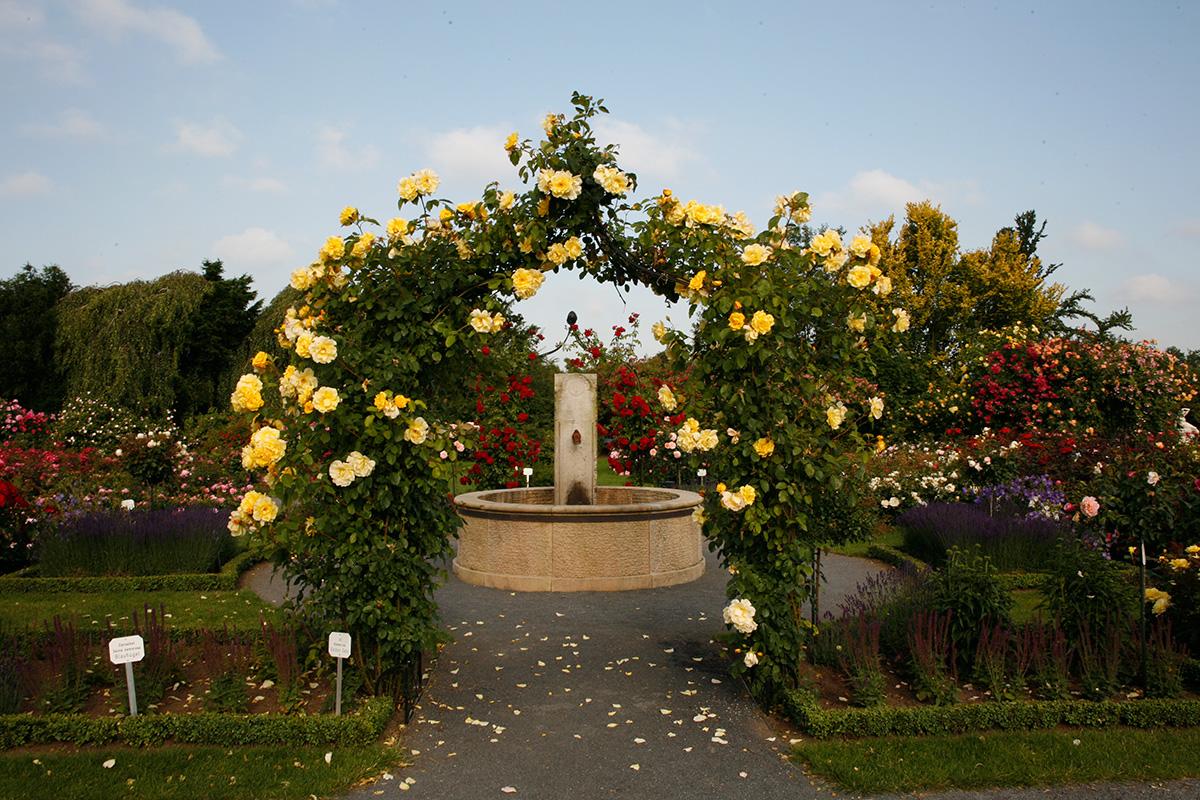 rosenbogen-garten-pflanzen-rose-golden-gate