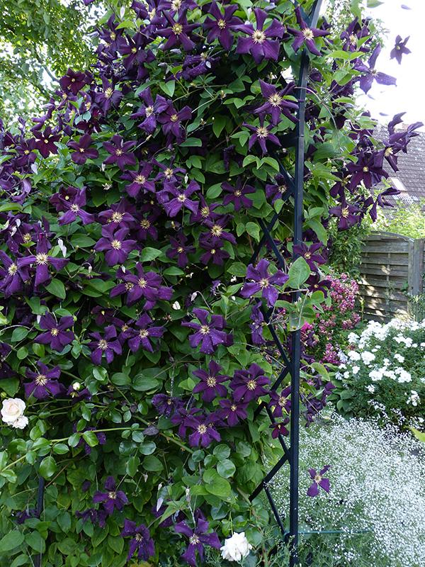 Rosenbogen Bagatelle im purpur Rosengarten Yokohama