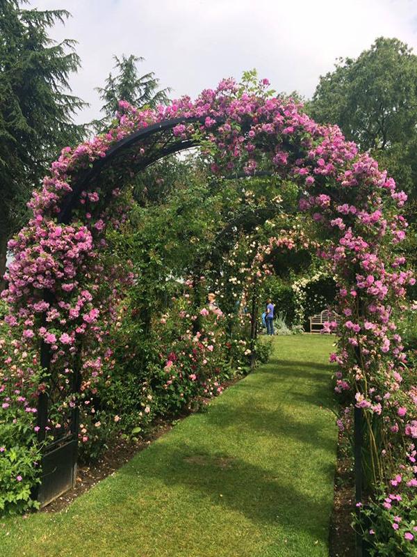 Rosenbogen Portofino im Peter Beales Garten