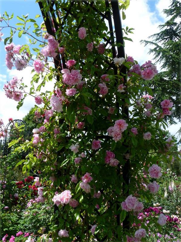 Rosenbogen Portofino mit rosa Kletterrose