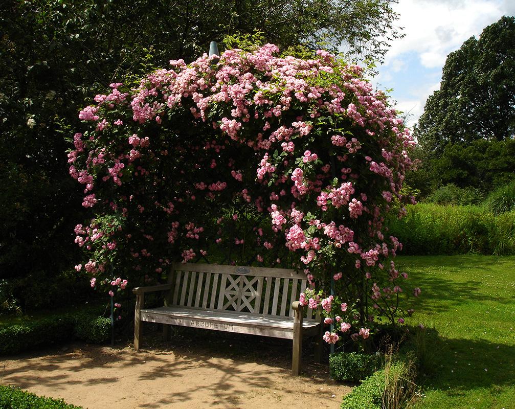 Rosenlaube Viktoria in Ellerhoop mit rosa Rosen bewachsen