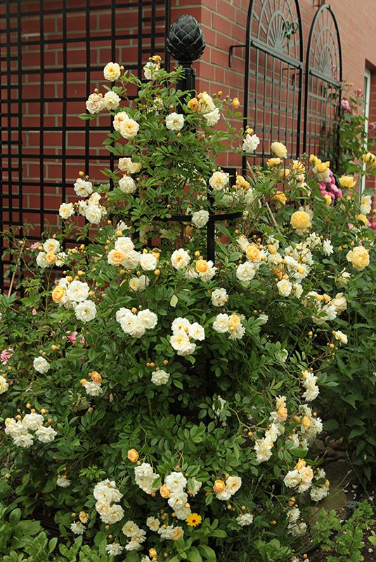 Rosenobelisk mit gelber Kletterrose