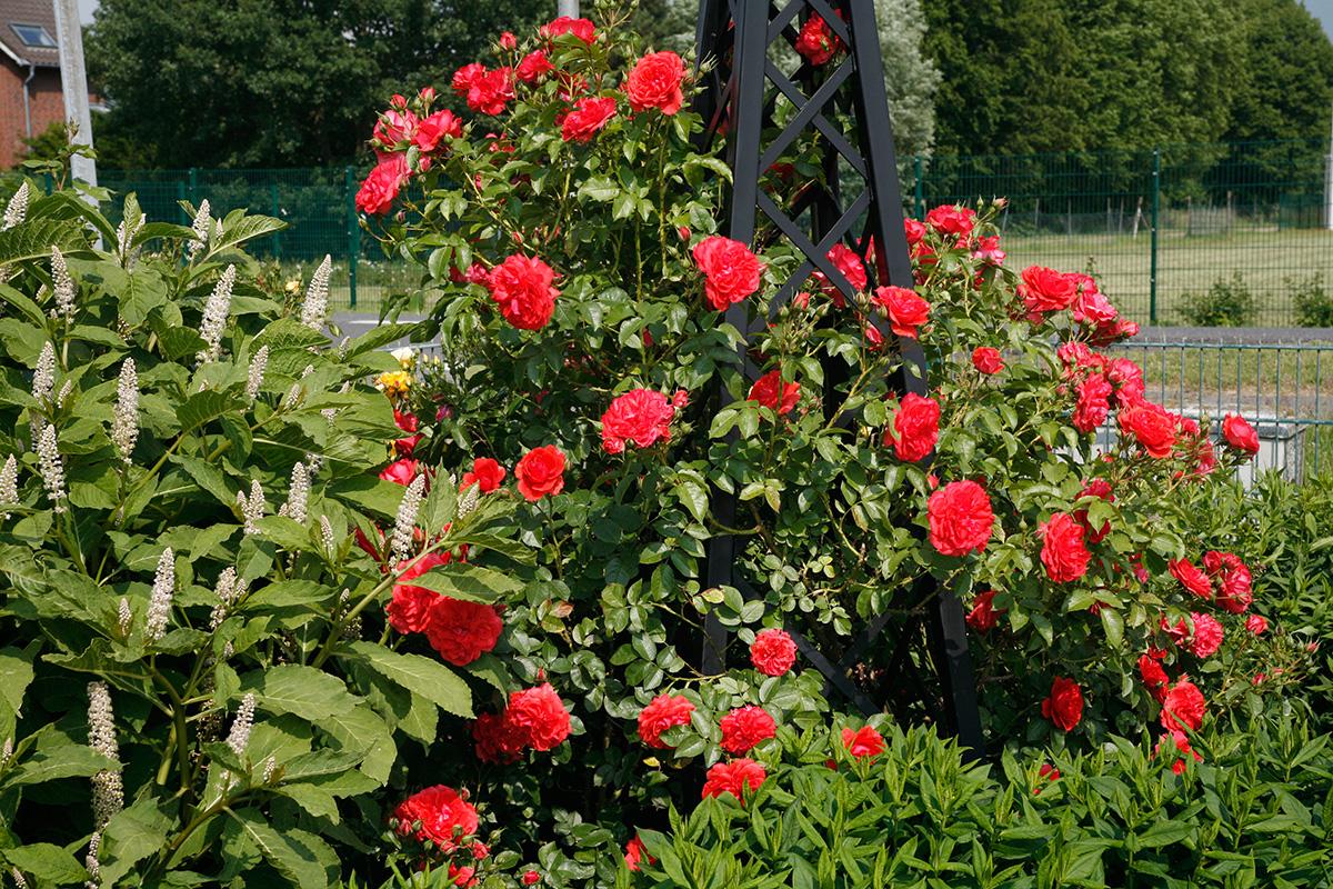 Rosenpyramide Malmaison mit Rose Florentina