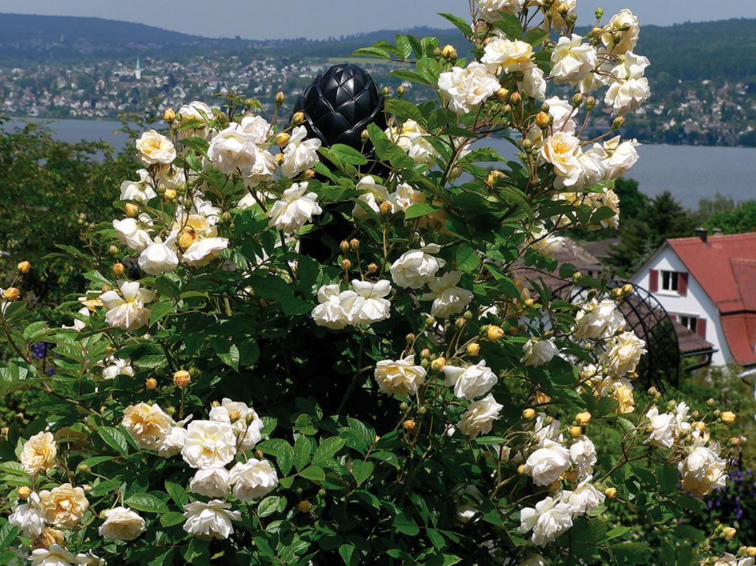 rosensäule in privatem rosarium am zürichsee