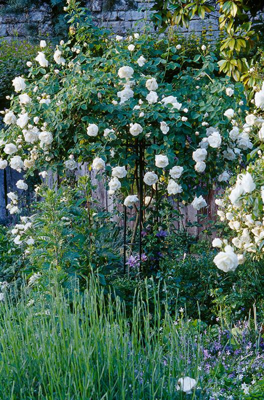 Rosenschirm mit weißer Rose