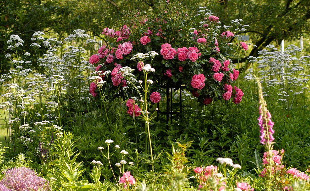 Rosenschirm Giverny im Staudenbeet