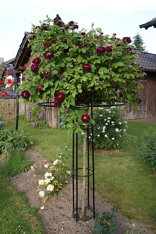 Rosenschirm Giverny im Bauerngarten