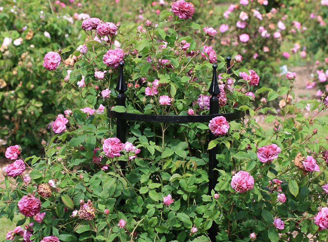 rosenst tze rudolf geschwind classic garden elements de. Black Bedroom Furniture Sets. Home Design Ideas