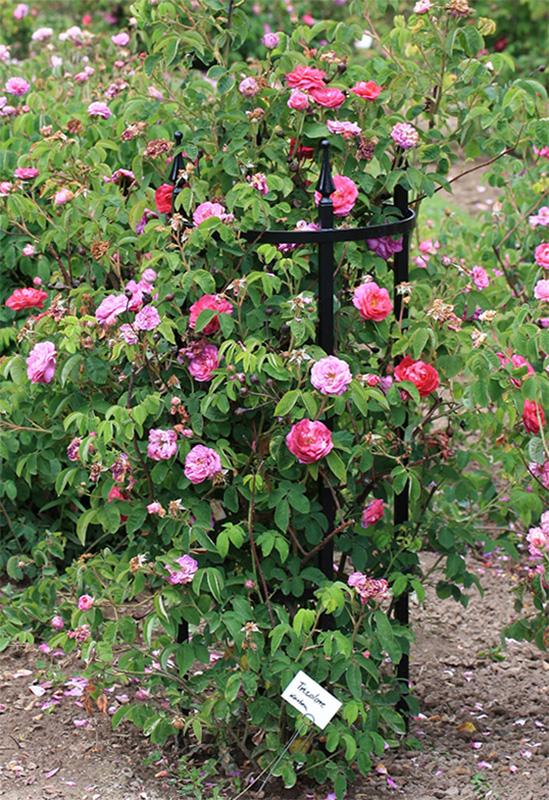 Rosenstütze mit rosa und pinken Rosen ~ Classic Garden Elements DE