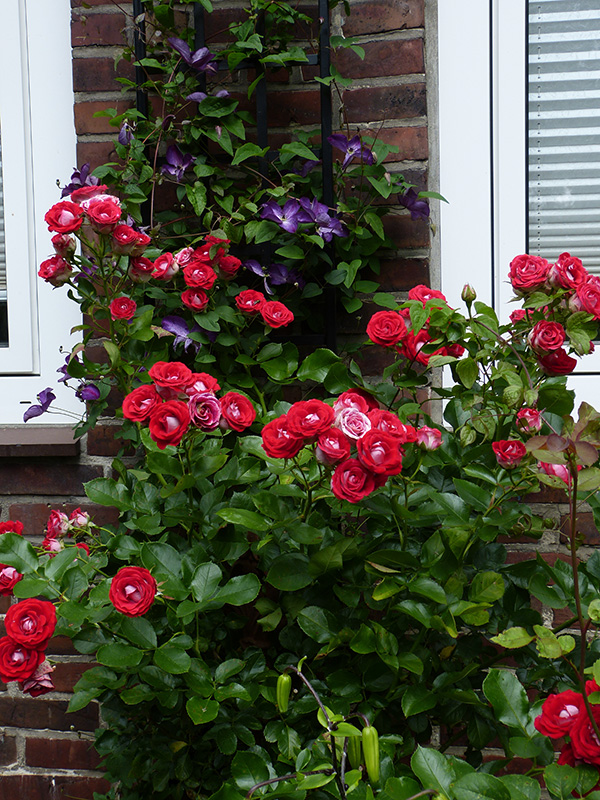 Schmales Spalier mit Clematis und Rose
