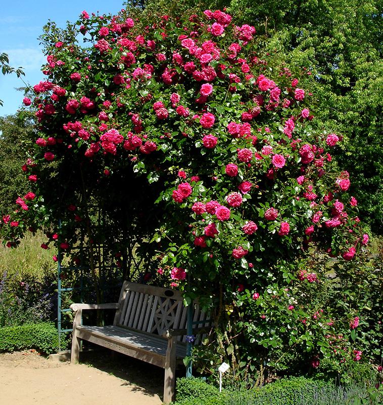 verwunschene Rosenlaube mit pinken Rosen bewachsen