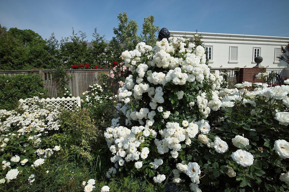 garten obelisk mit weissen rosen im rosarium von yokohama