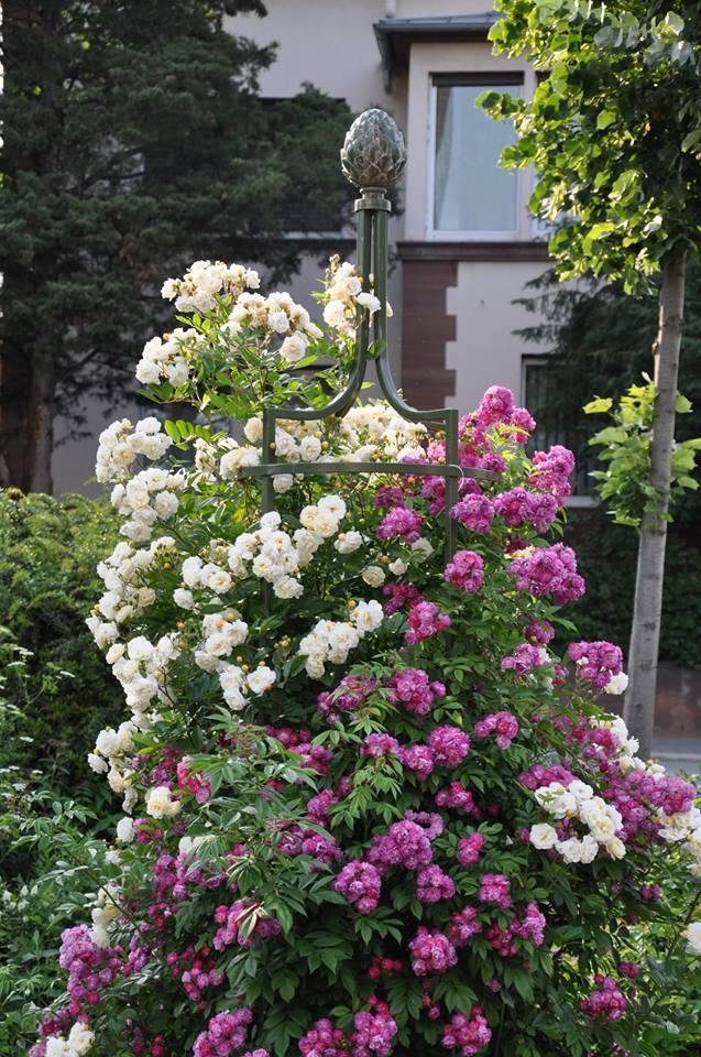 rankobelisk mit rosen ghislaine de féligonde und perennial blue