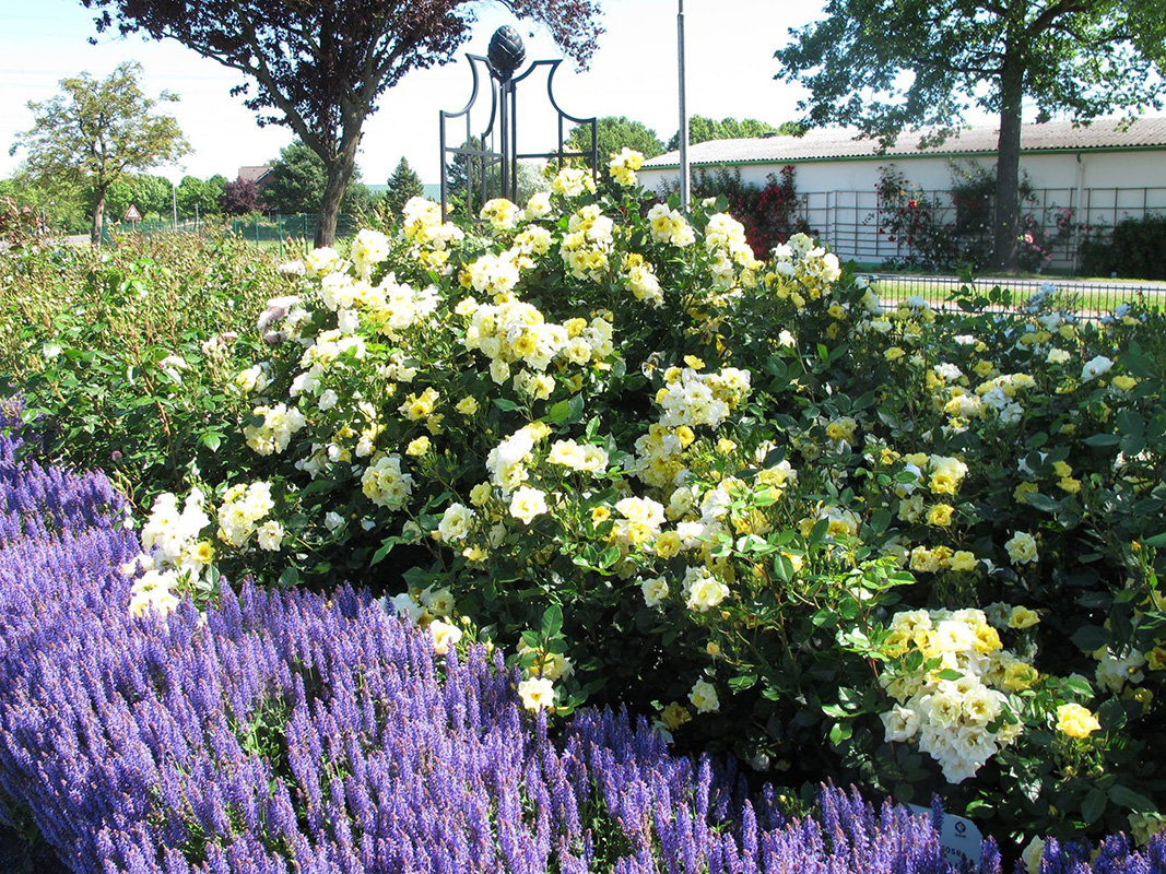 Rankobelisk aus Metall, Rankhilfe Garten, Gelbe Rosen,