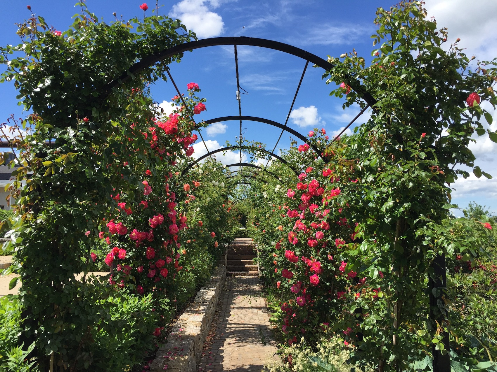 Laubengang Metall Rote Rosen noch nicht bewachsen