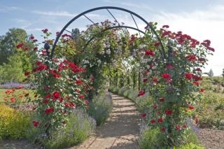 Laubengang mit roten Rosen und weißen Rosen im Park