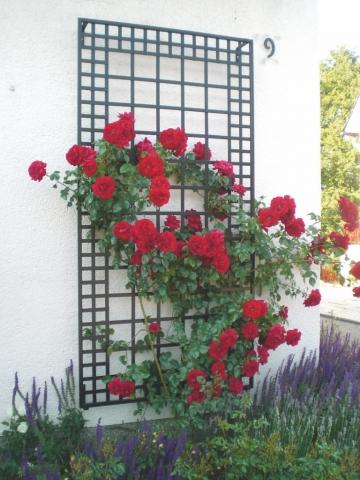 100 x 200 Wand Rankgitter bewachsen mit roten Rosen