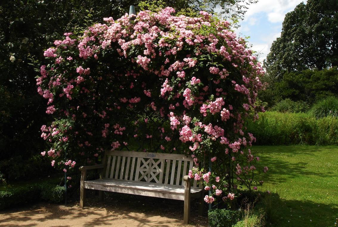 Rosenlaube aus Metall mit Rosa Rosen und Holzbank
