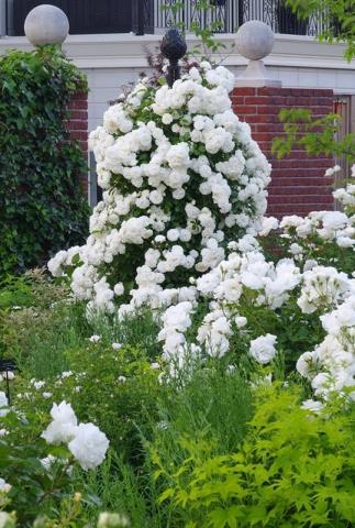 Freistehende Rankhilfe mit weißen Blumen und Rosen